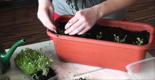 аліссум вирощування