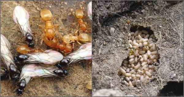 як вивести мурах