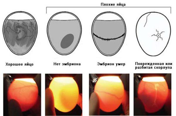 інкубація курячих яєць в домашніх умовах