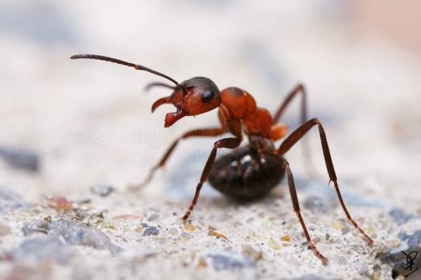 як вивести мурах з городу