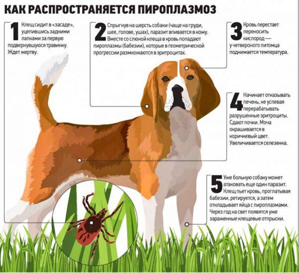 лікування піроплазмозу у собак