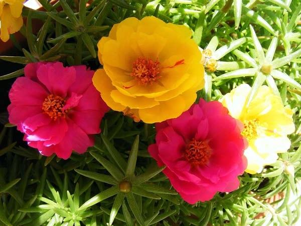 портулак квіти