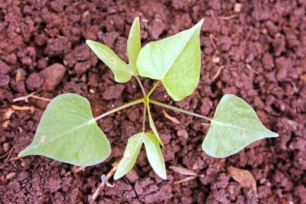 садіння іпомеї
