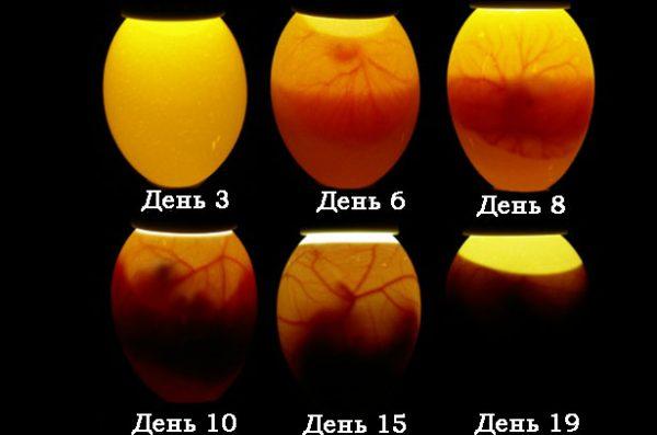 інкубаційний період курячих яєць