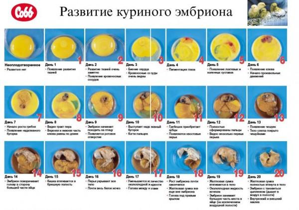 режим інкубації курячих яєць