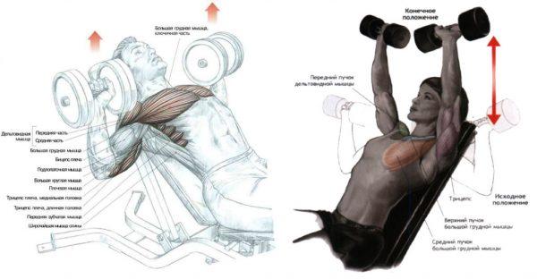 вправи з гантелями для грудей