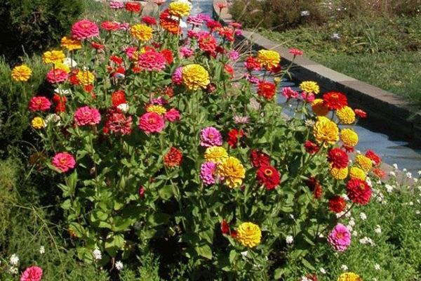 цинії в саду фото