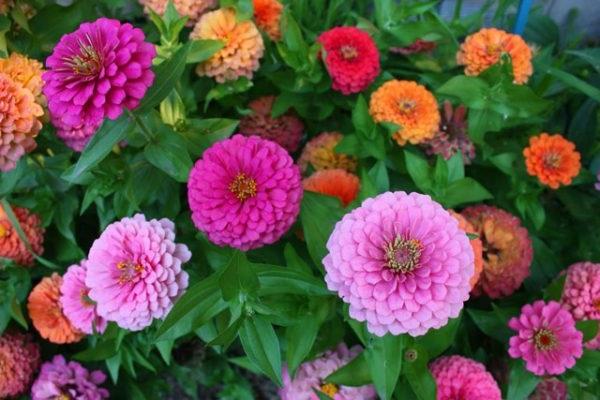 квіти майори