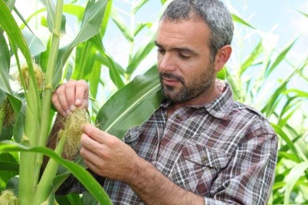 лікарські рослини кукурудзяні рильця