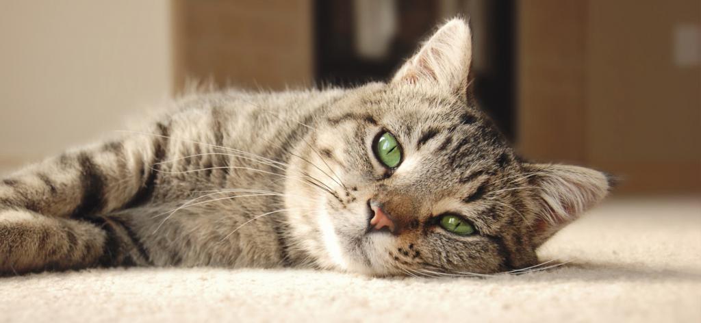 коліт в котів