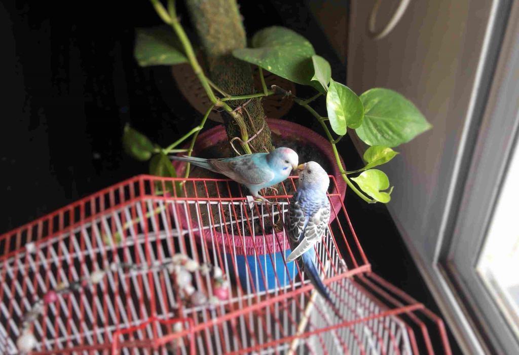 яку зелень можна давати папугам