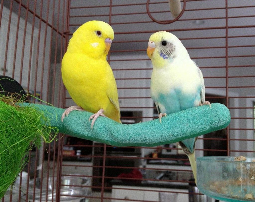 хвилясті папуги догляд