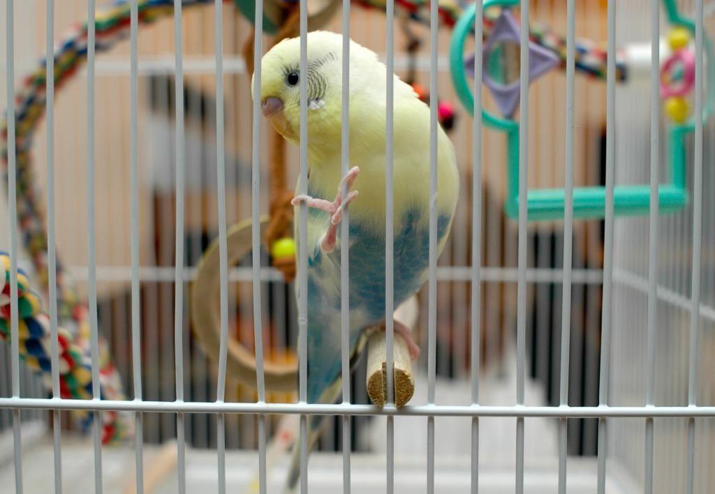 все про хвилястих папуг