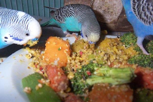 хвилясті папуги годування