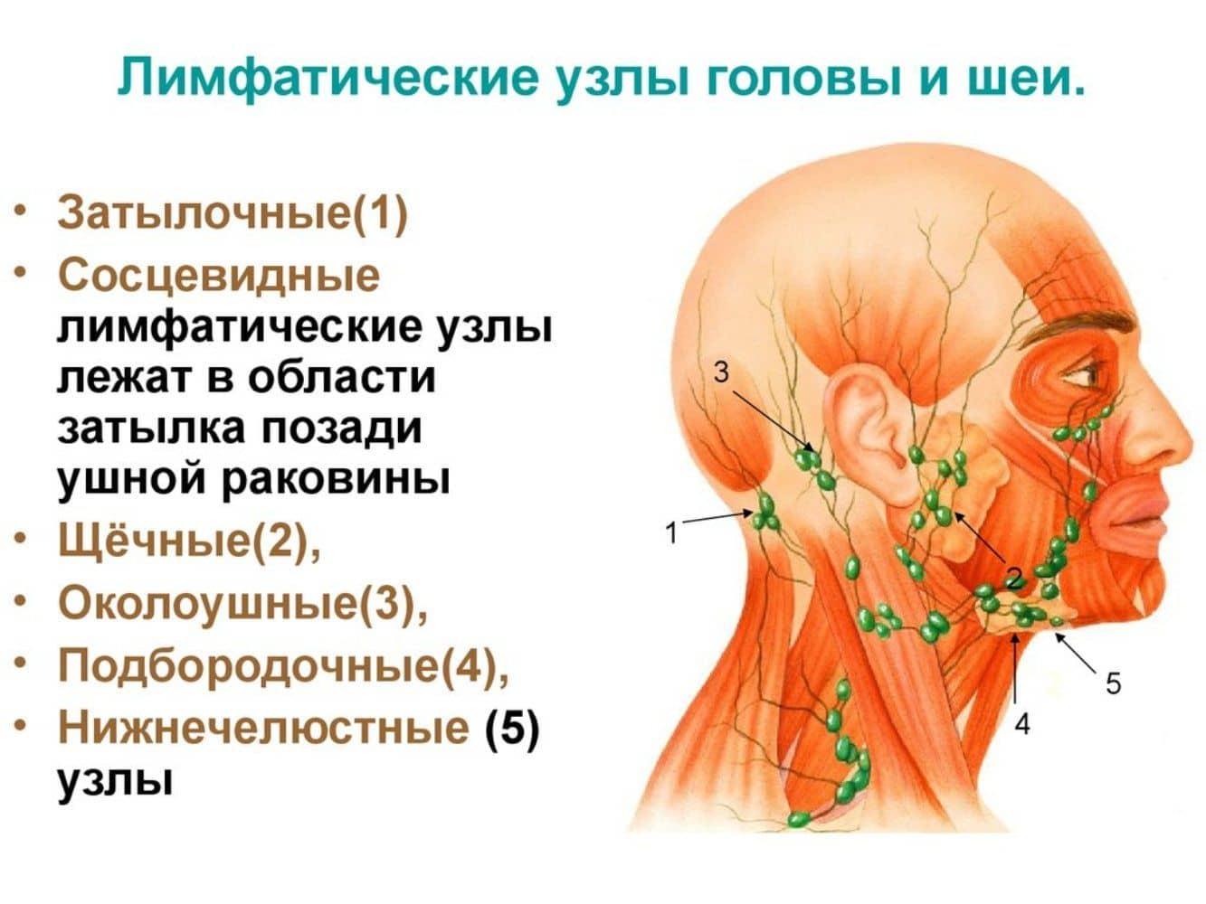 лімфатичні вузли голови і шиї схема