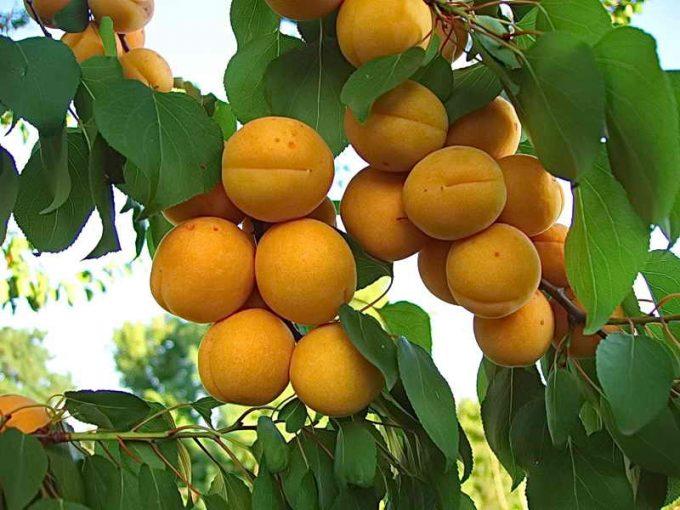 Чому абрикос не плодоносить