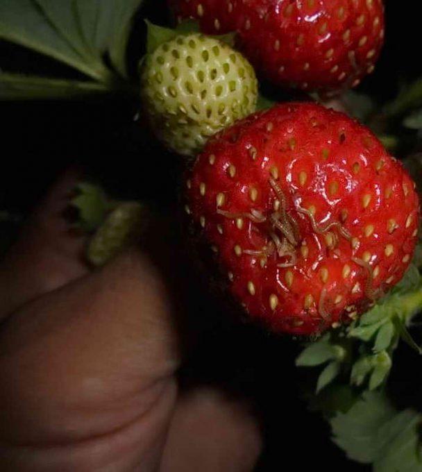 як позбутися многоножок на ягодах
