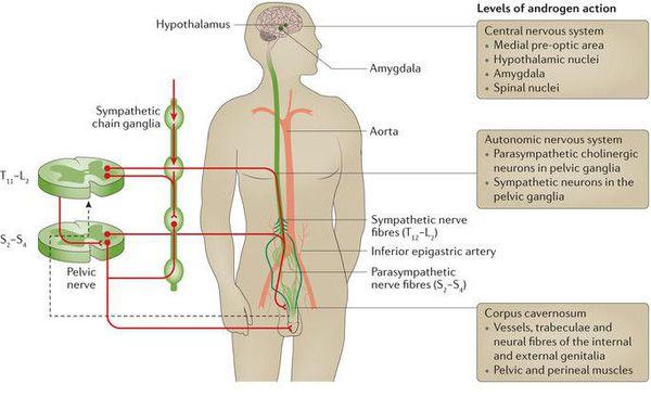 діагностика ериктильної дисфункції