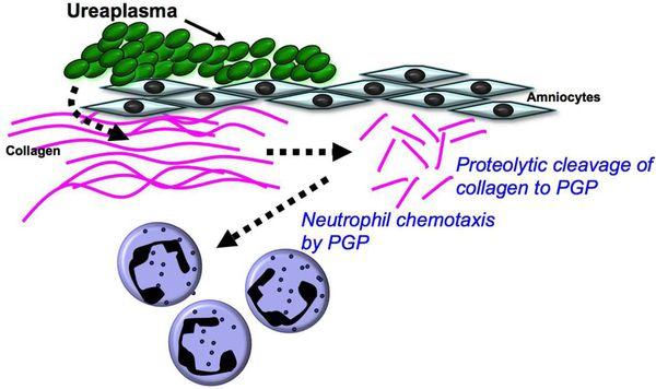 Патогенез уреаплазмоза