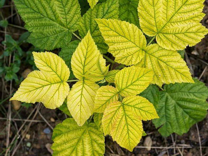 хлороз листків