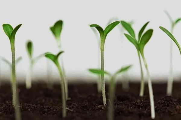 методика визначення схожості насіння