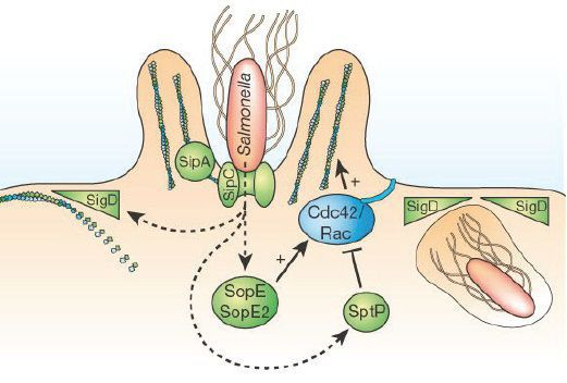 патогенез черевного тифу