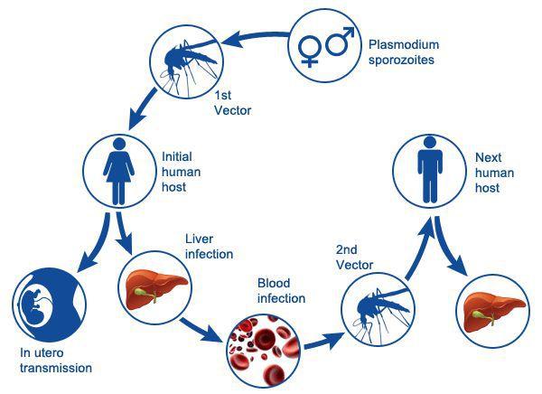 збудник малярії