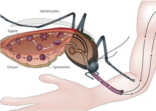 патогенез малярії