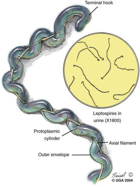 лептоспіроз