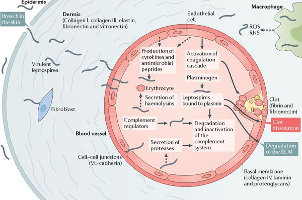 патогенез летоспірозу