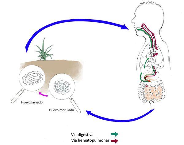 аскаридоз способи зараження