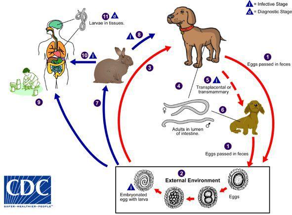 токсокароз зараження від собак