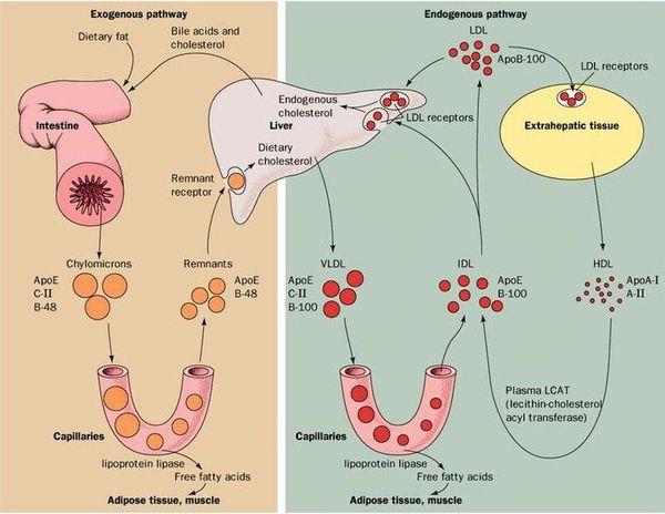 Патогенез гіперхолестеринемії