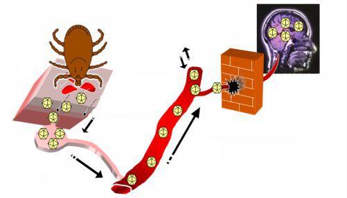 енцефаліт кліщовий птогенез