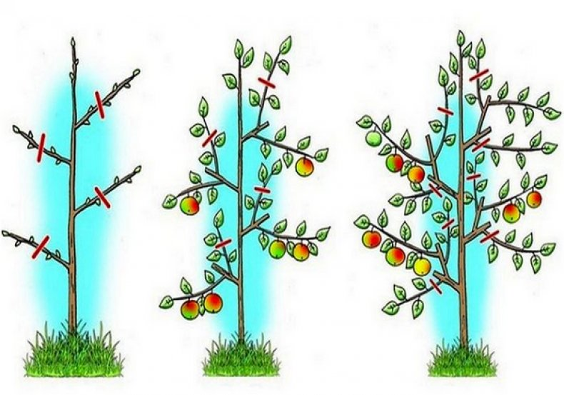 як правильно обрізати яблуні