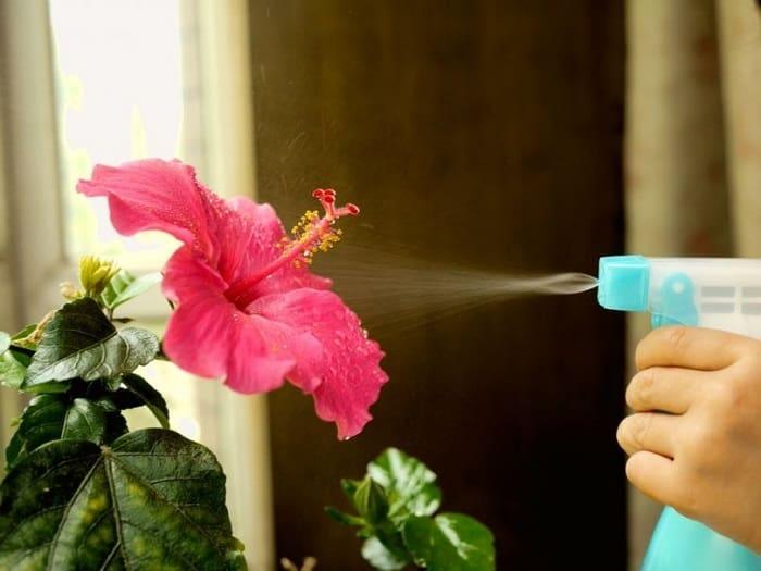 догляд за гібіскусом в домашніх умовах