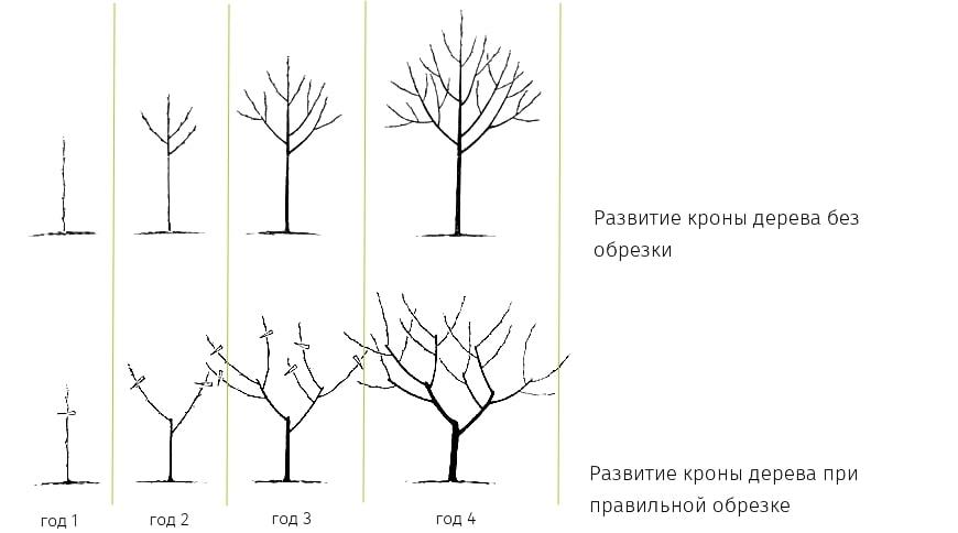 рісте дерев схема