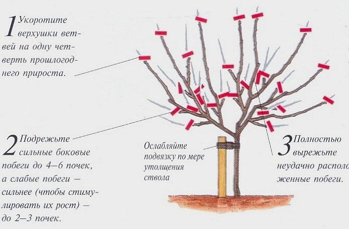 обрізка яблуні весною схема