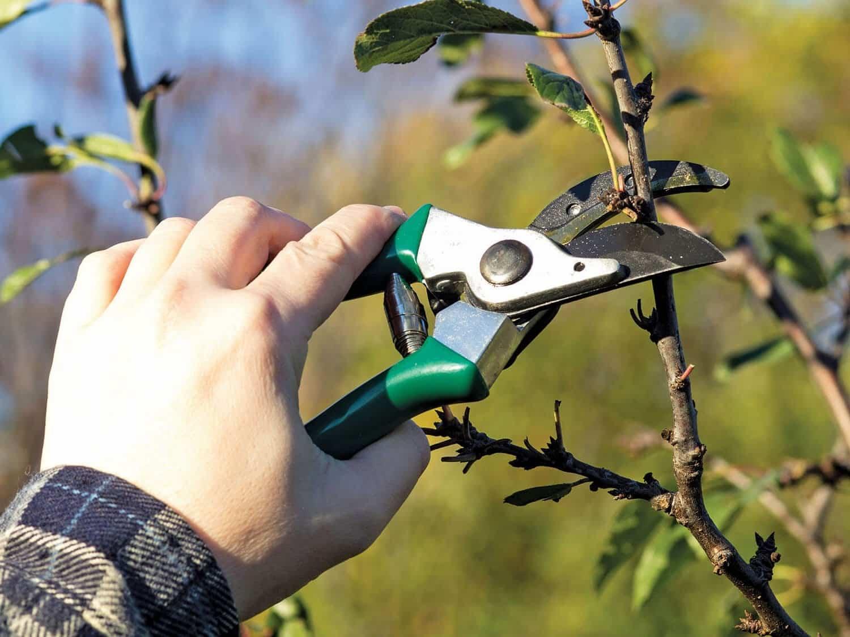 як правильно обрізати дерева весною