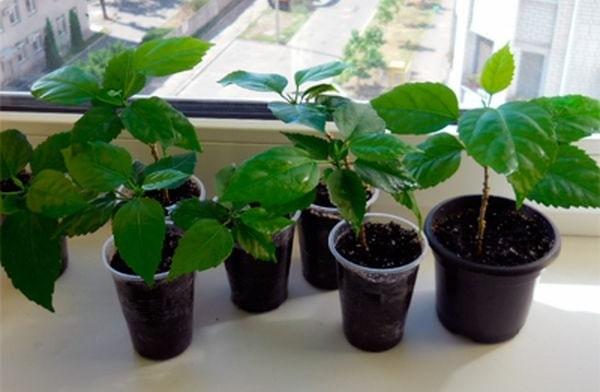 вирощування гібіскуса дома