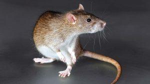 Цікаві факти про щурів