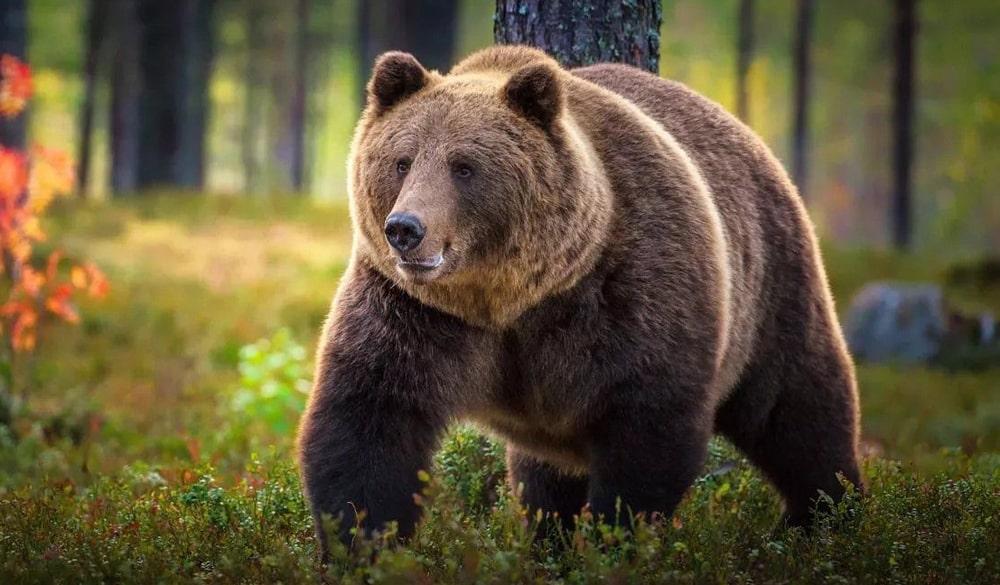 Цікаві факти про ведмедів