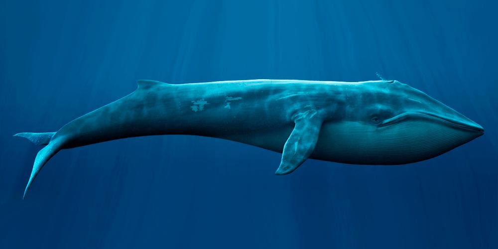 цікаві факти про китів