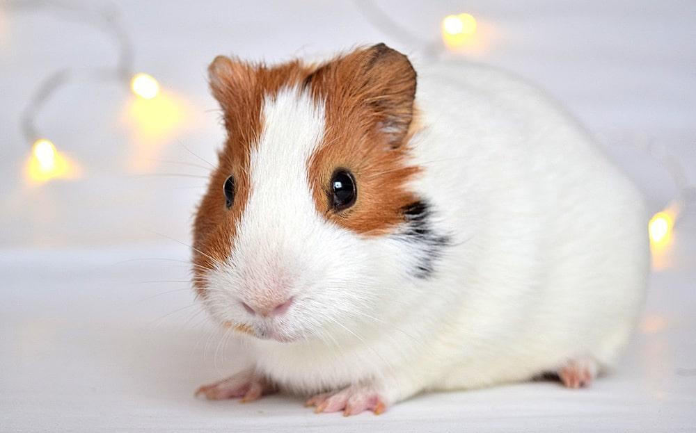 цікаві факти про морських свинок