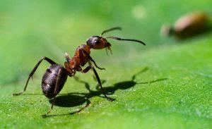цікаві факти про мурах
