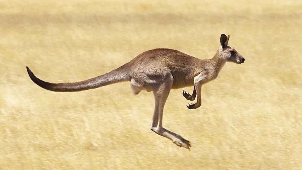 цікаві факти про кенгуру
