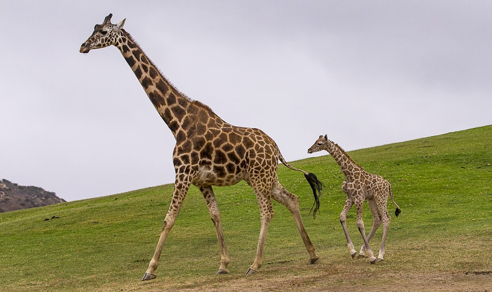 цікаві факти про жирафів
