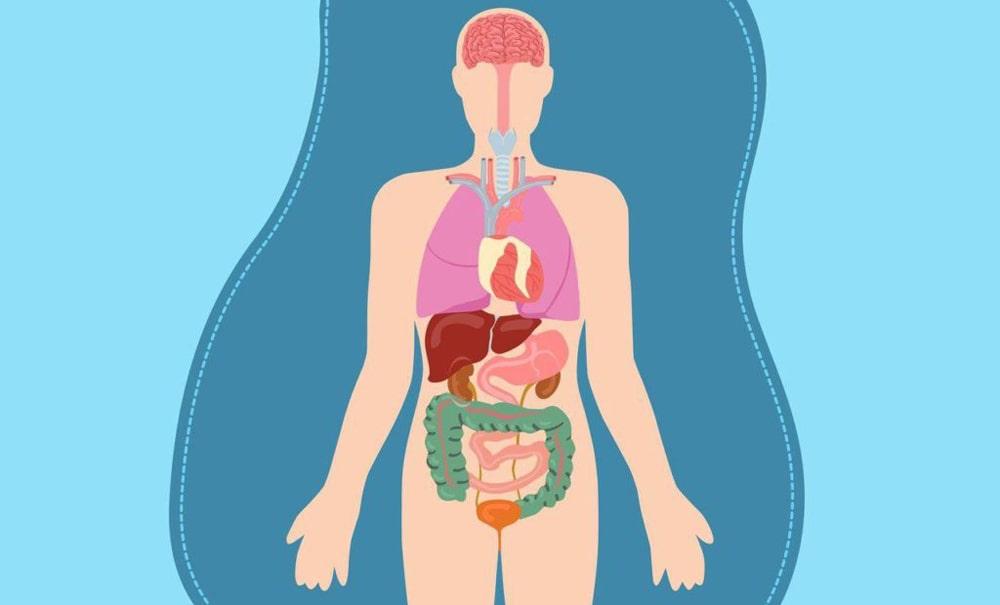 Цікаві факти про органи людини