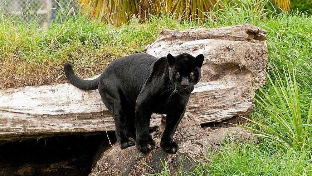 цікаві факти про чорна пантеру
