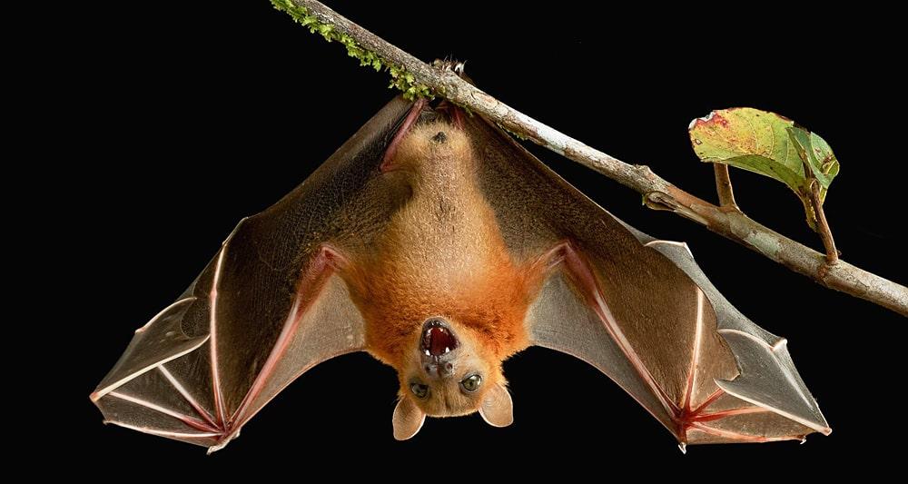 цікаві факти про кажанів